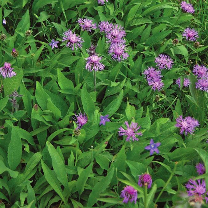 Centaurea vlachorum (photo L. Shuka)