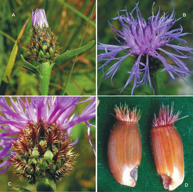 Centaurea vlachorum capitula and achenes: A, with  triangular  appendages. C, with  narrowly  triangular  appendages (photo L. Shuka)