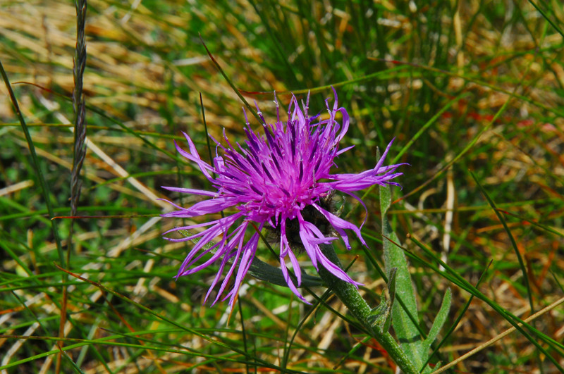 Centaurea vlachorum, photo: tselos