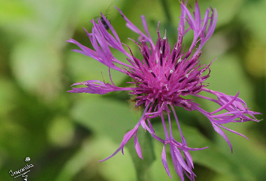Centaurea vlachorum, photo: japanita