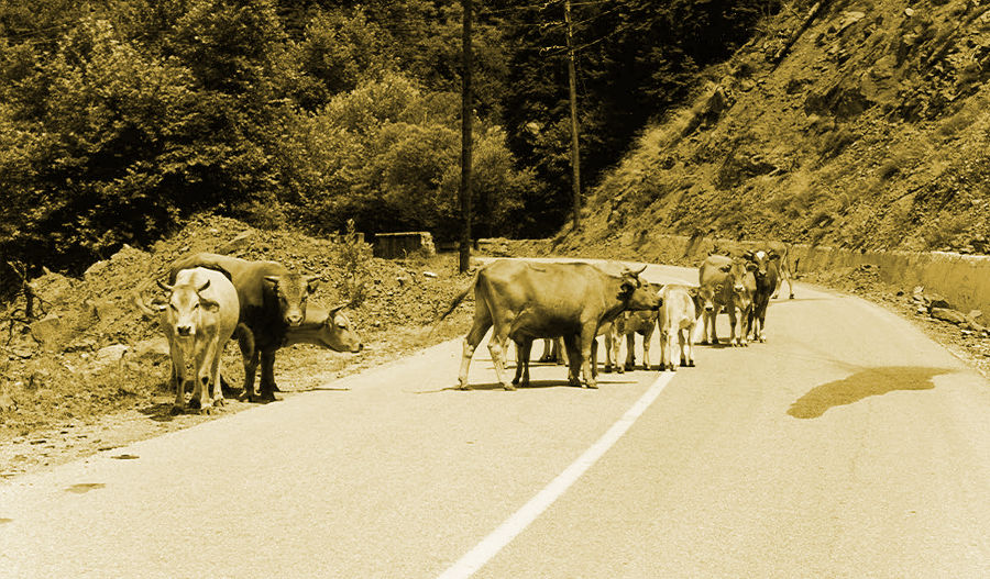 Κοπάδι αγελάδων σε δρόμο του Ασπροποτάμου