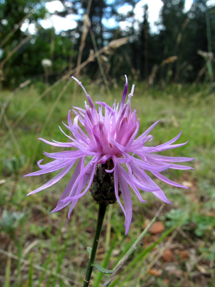 Centaurea vlachorum, photo: pinchofadventure.wordpress.com